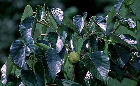 Aleurites fordii leaves