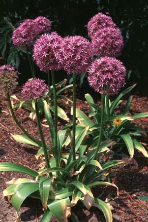 Allium aflatunense full