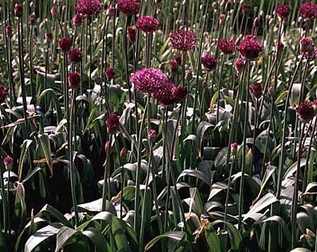 Allium aflatunense, multiple
