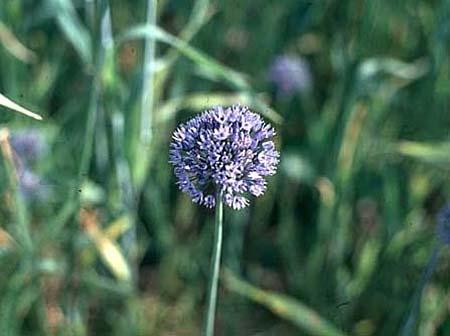 Allium caeruleum (A. azureum)