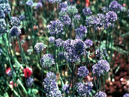 Allium caeruleum (A. azureum), multiple