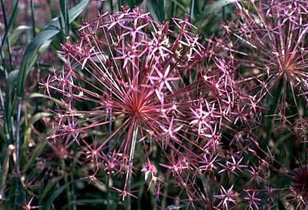 Allium christophii (A. albopilosum) flower