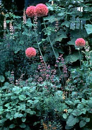 Photo of Allium giganteum