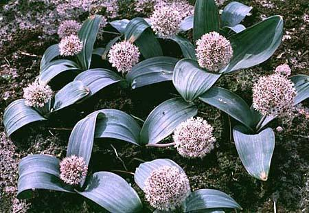 Photo of Allium karataviense