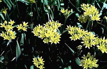 Allium moly (A. luteum)