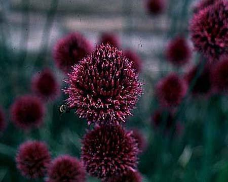 Allium sphaerocephalon flower
