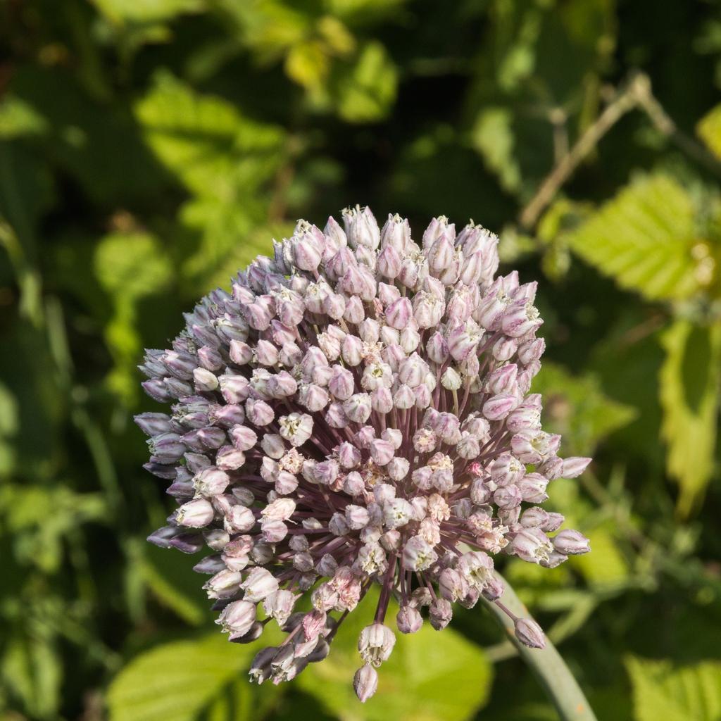 wild leek flower