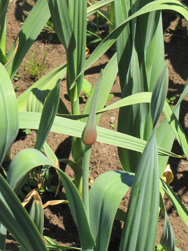 Elephant garlic growing