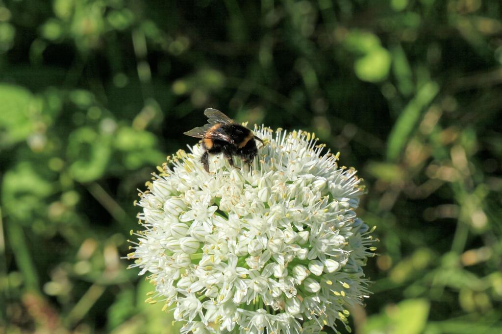Allium cepa inflorescence