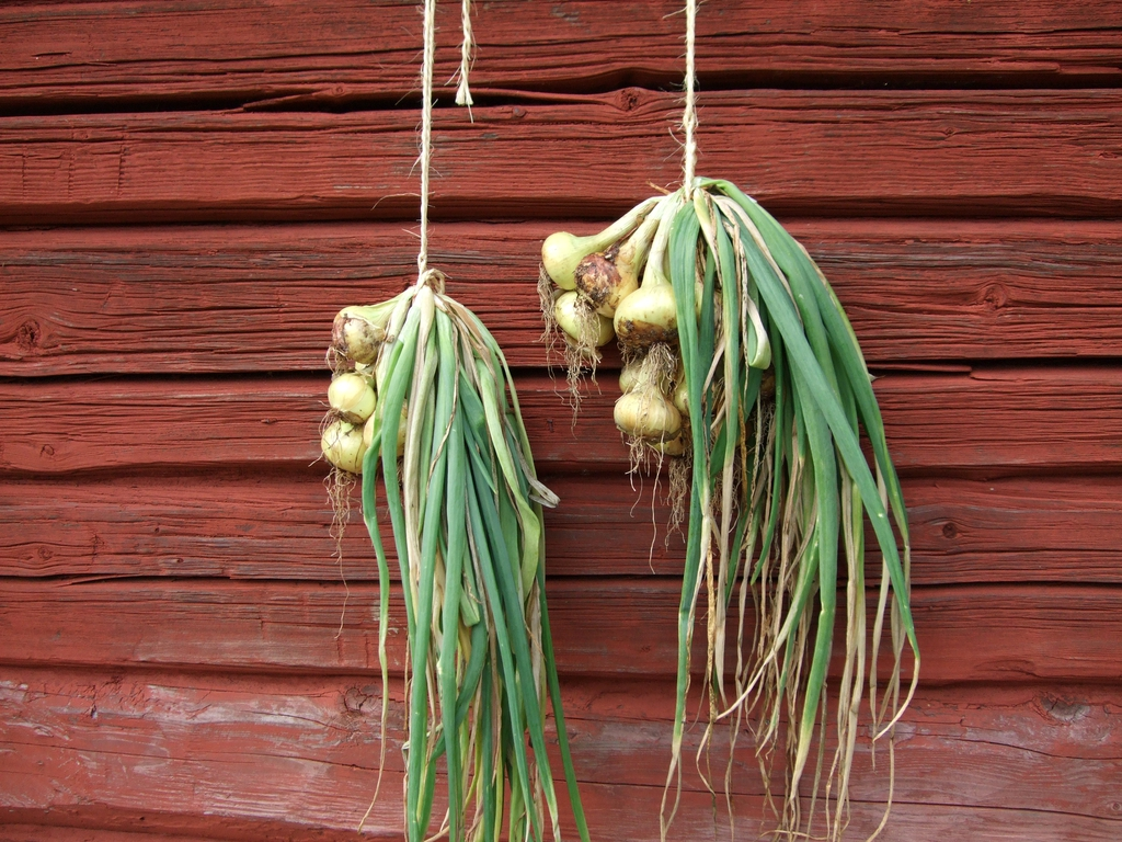 Allium cepa drying