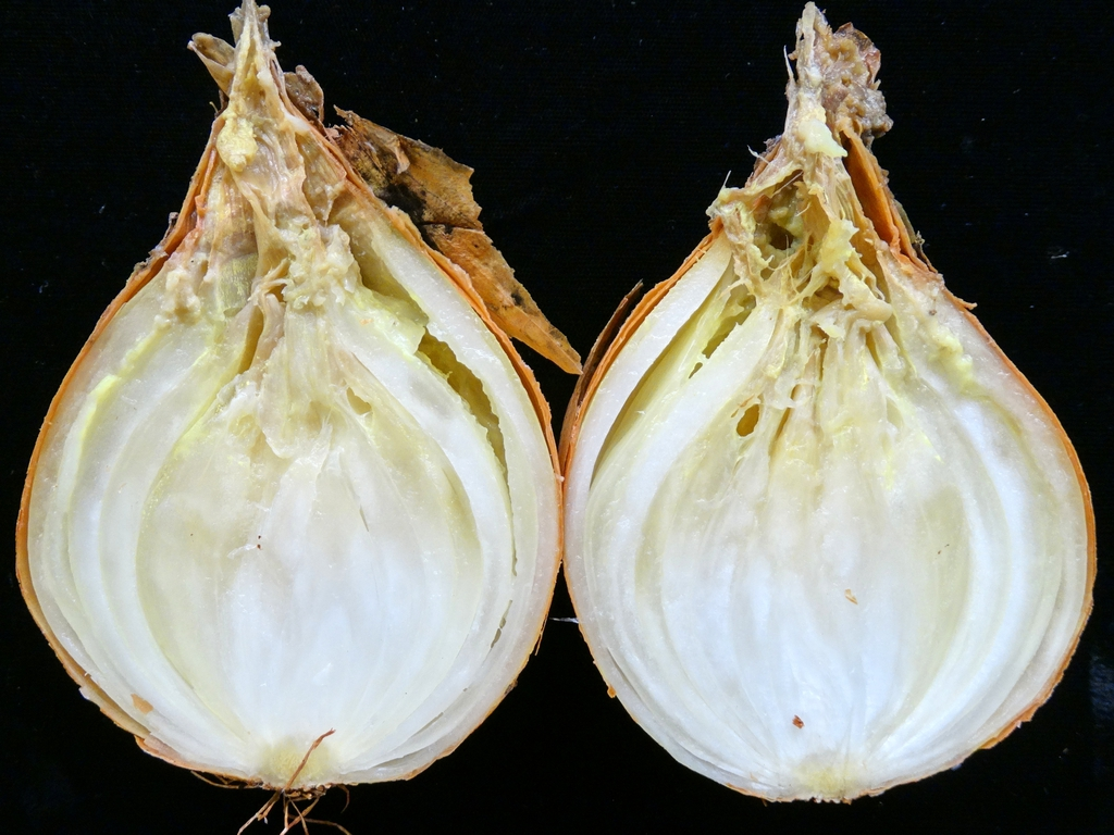 Allium cepa with rot