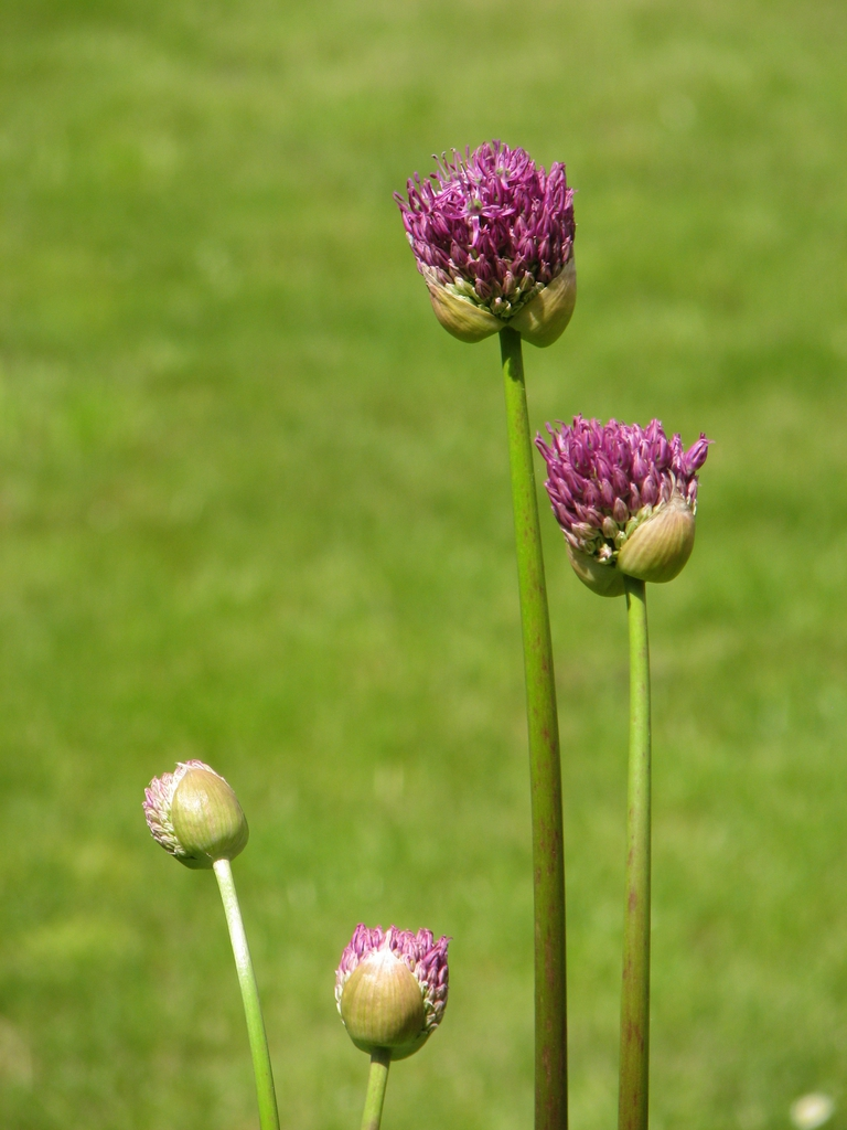 Flower buds 'Purple Sensation'