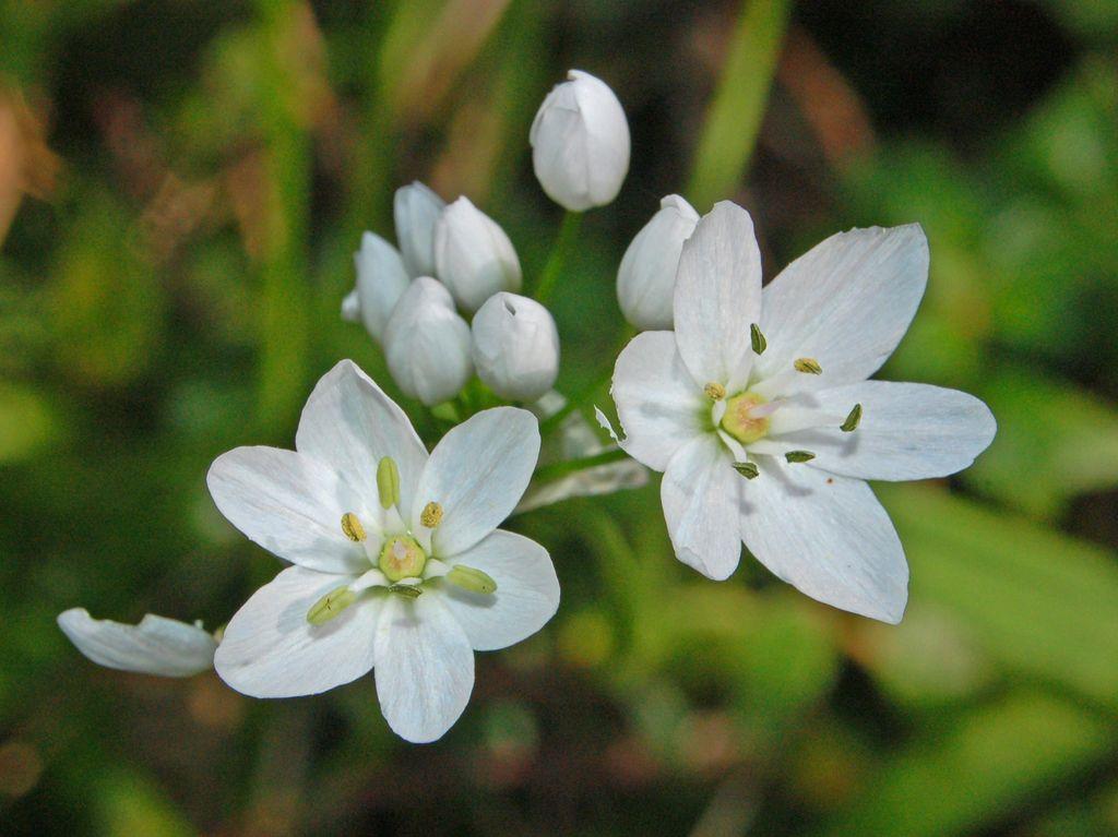 Allium neapolitanum allium cowanii flower