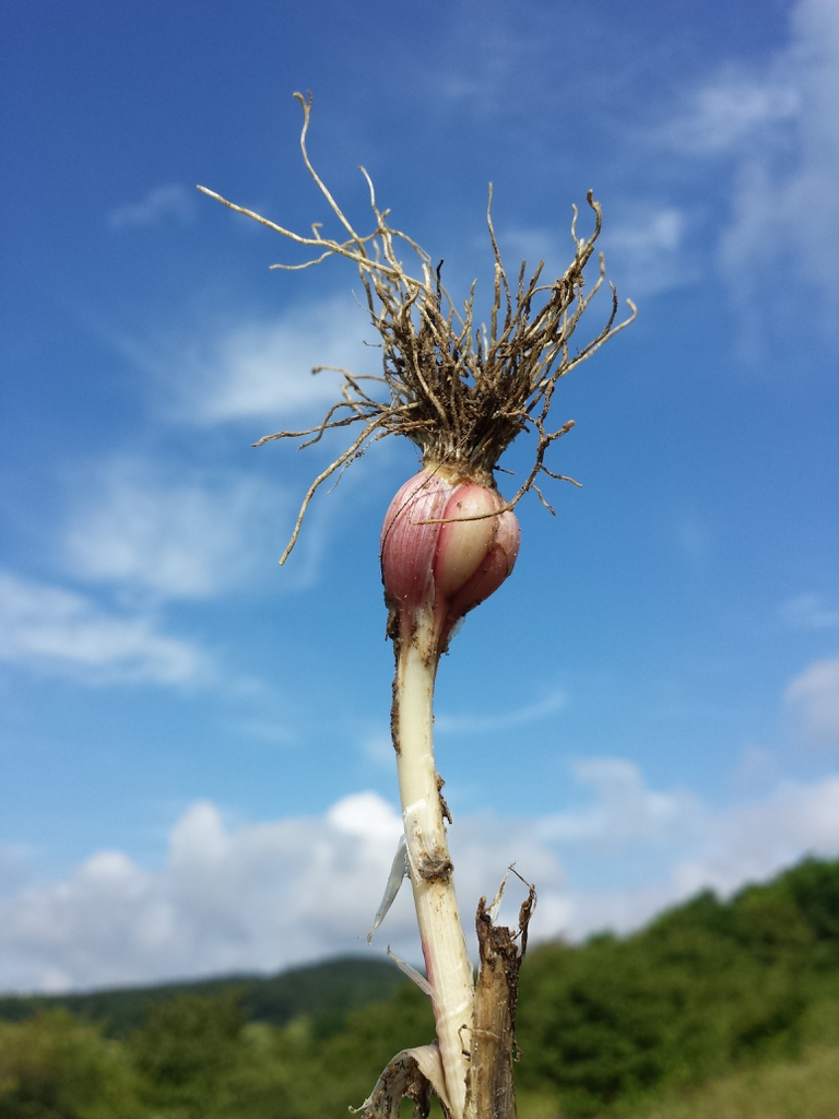 roots of garlic