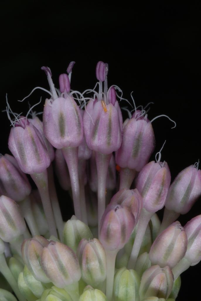 Allium vineale