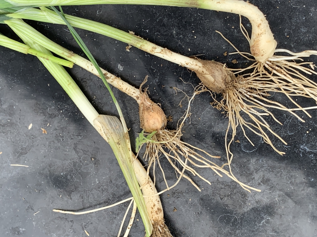 Bulbs and roots