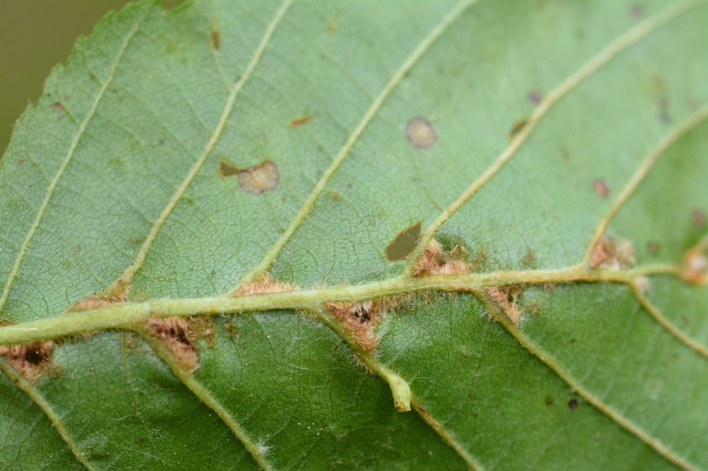 Alnus Glutinosa (with Aceria nalepai)