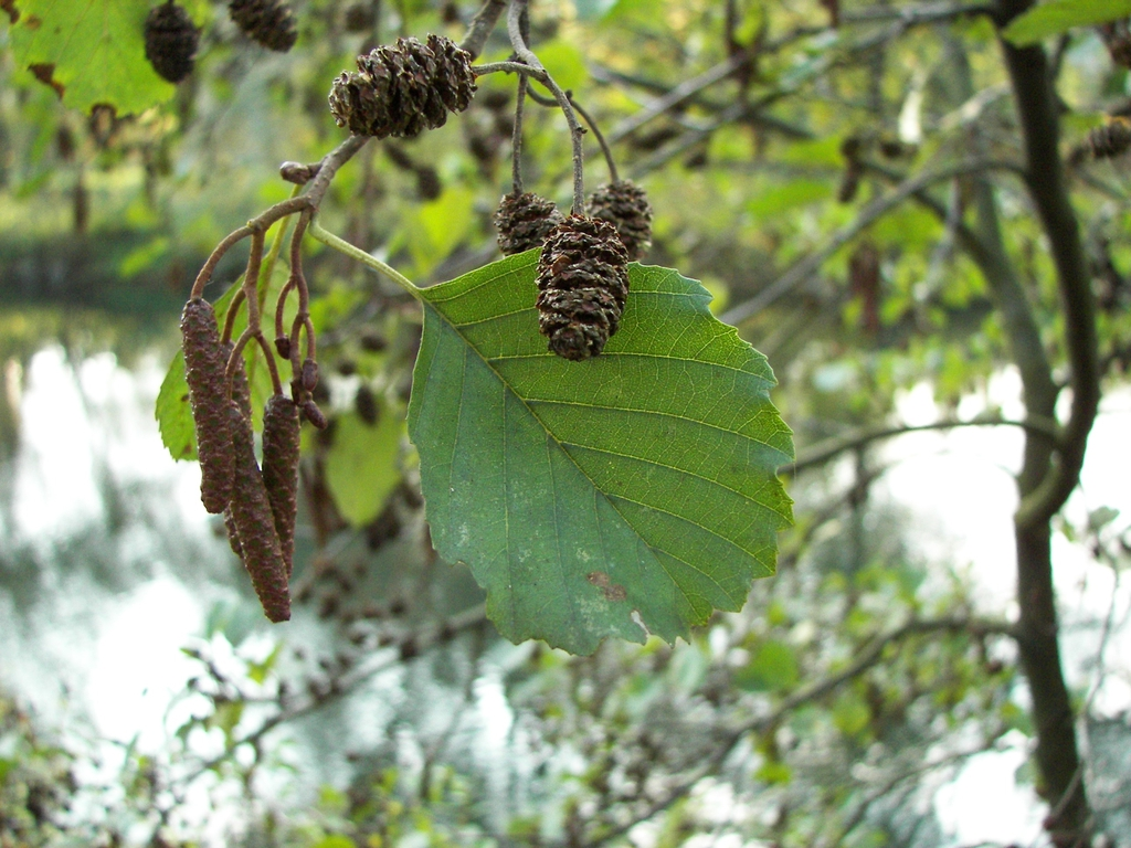 Alnus glutinosa's leaves, cones, and male catkins