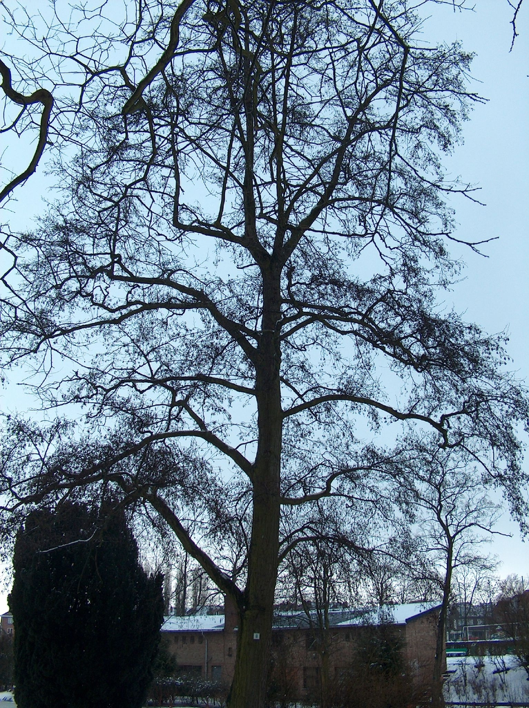 Alnus glutinosa in the winter