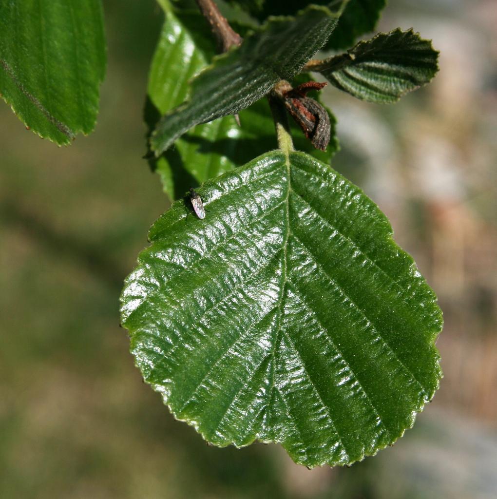 Alnus glutinosa leaf