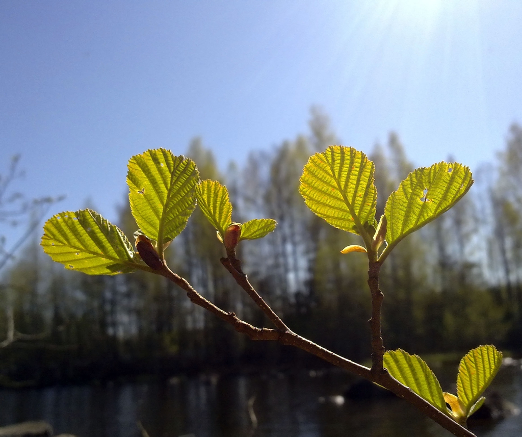 Alnus glutinosa leaves budding