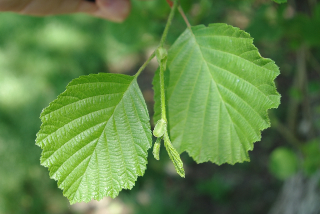 Alnus hirsuta leaf close up