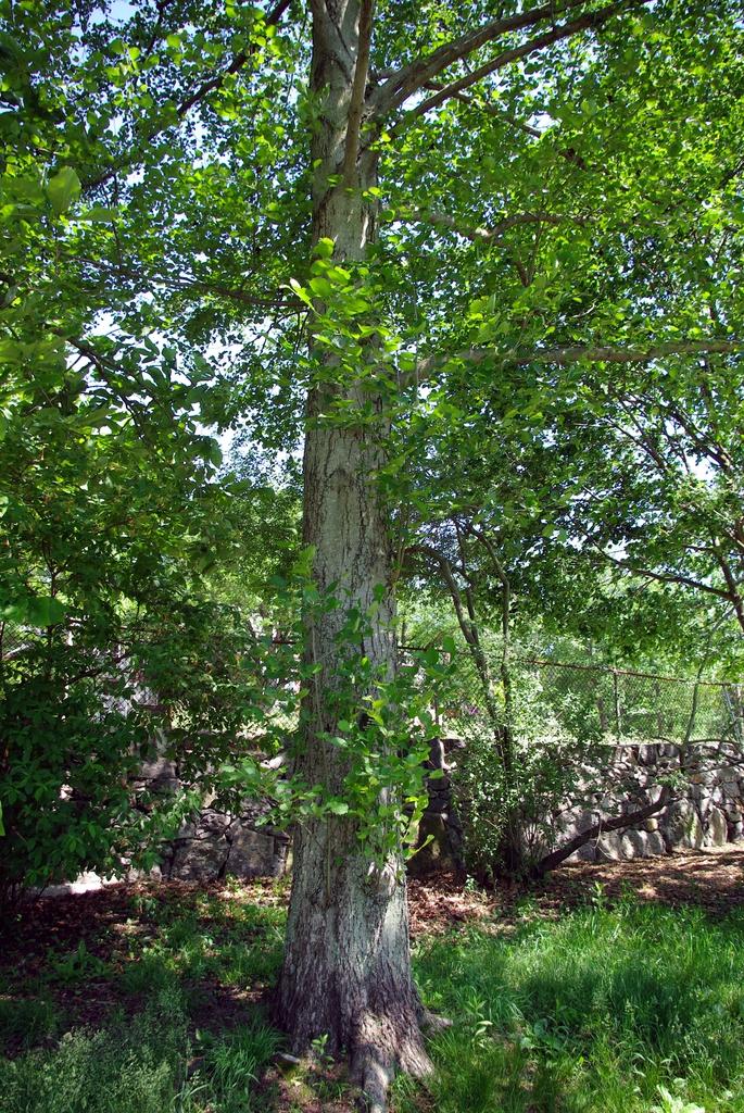 Alnus hirsuta tree 2