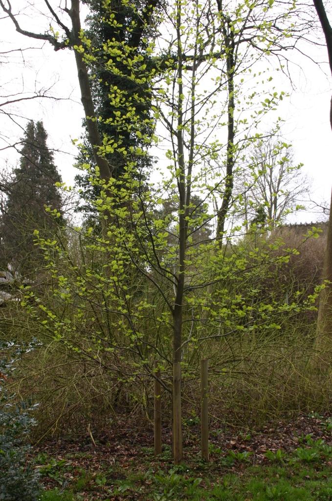 Alnus hirsuta tree