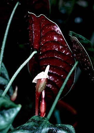 Alocasia spp.