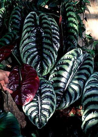 Photo of Alocasia spp.
