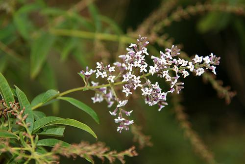 Aloysia triphylla flower