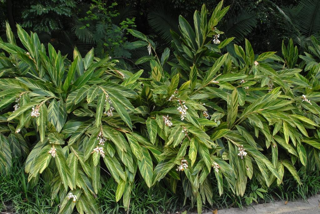 Alpinia zerumbet