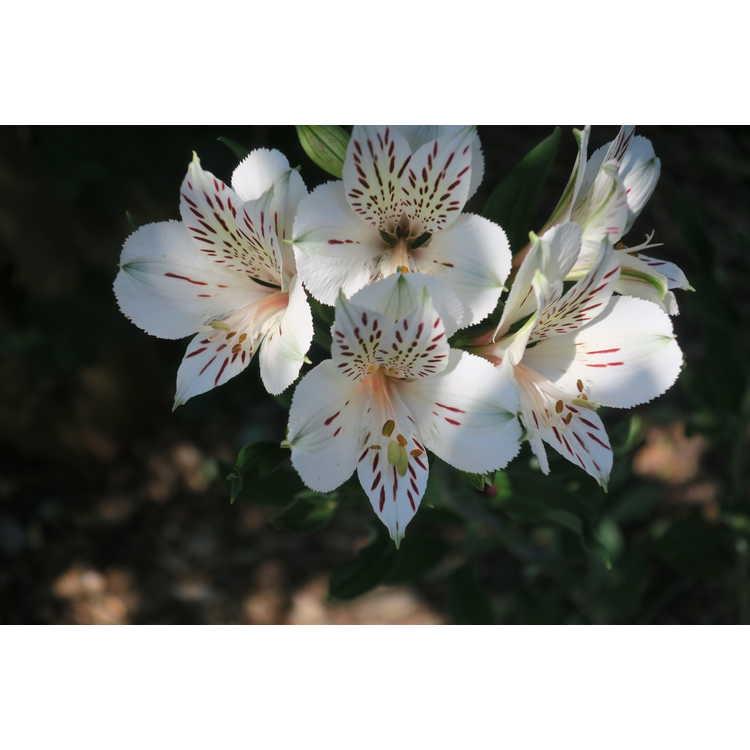 Alstroemeria 'Casablanca' flowers