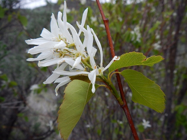 Amelancheir alnifolia, flower