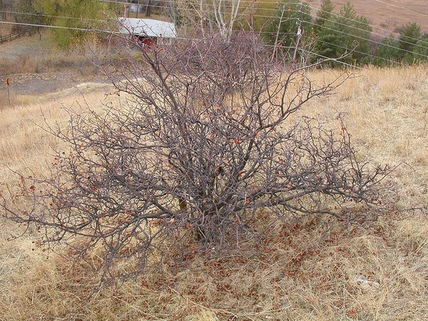 Amelancheir alnifolia
