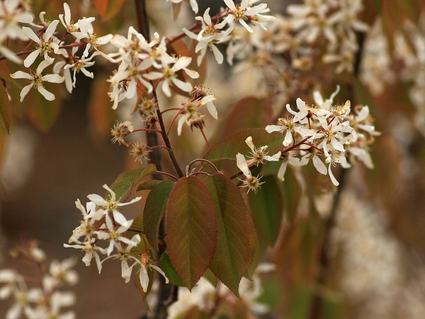 Photo of Amelanchier arborea
