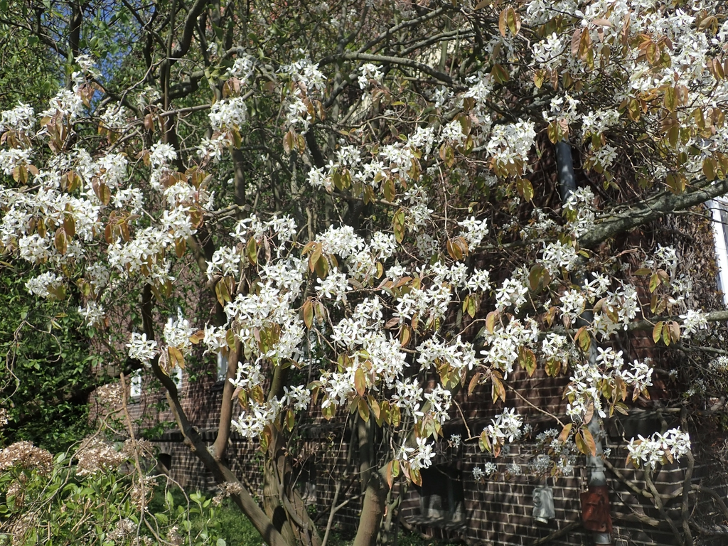 Amelanchier arborea flowers far away