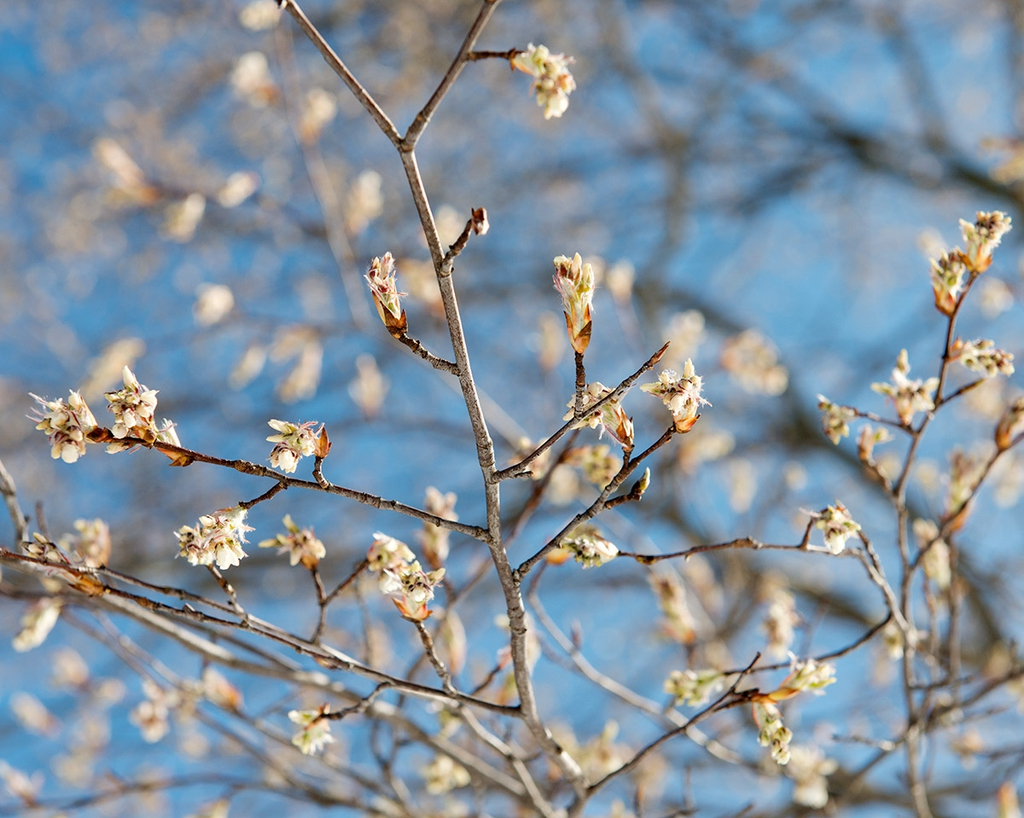 Amelanchier arborea flowers before blooming