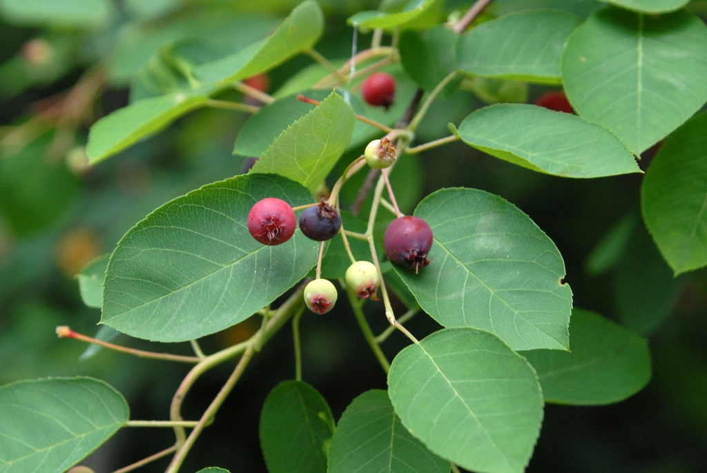 Immature fruits are green and mature fruits are purple (Biltmore