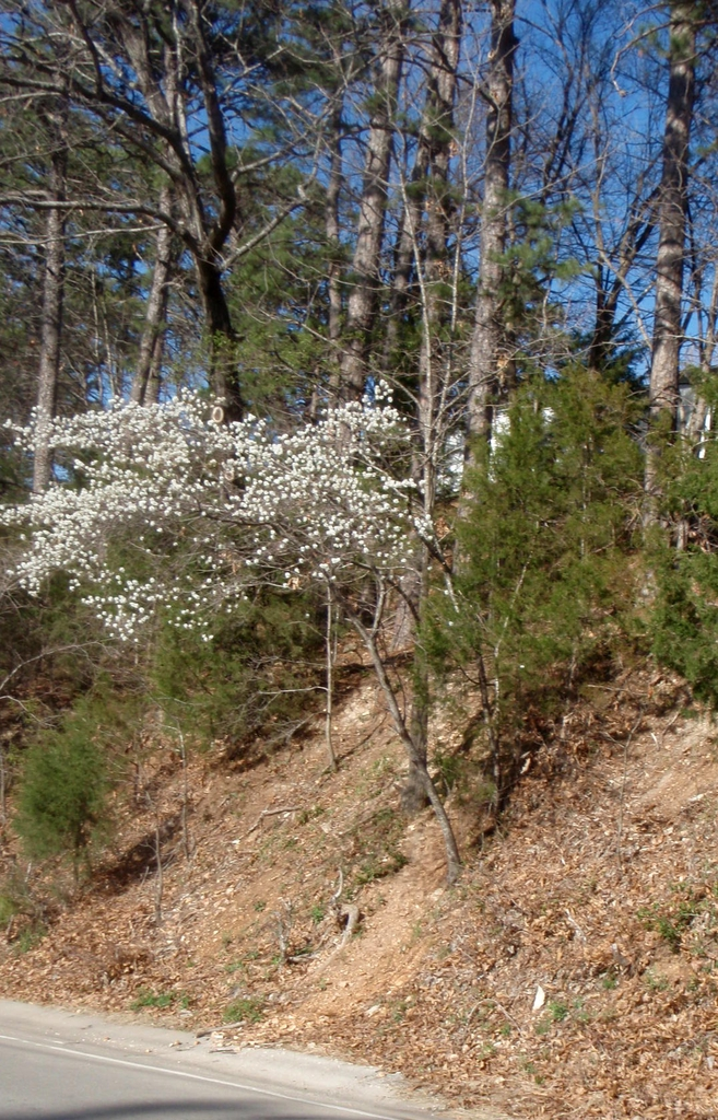 Amelanchier arborea Tree
