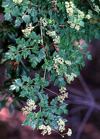 Ampelopsis spp.