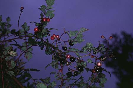 Ampelopsis spp. branch
