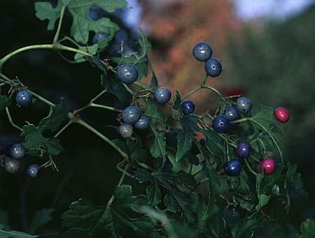 Ampelopsis spp. berries
