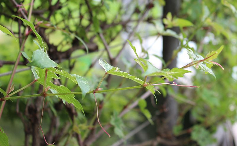 Ampelopsis brevipedunculata var maximowiczii
