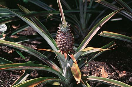 Photo of Ananas comosus