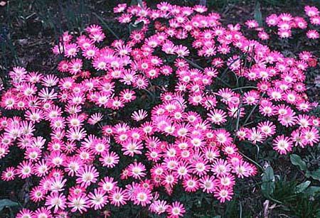Anemone blanda, pink