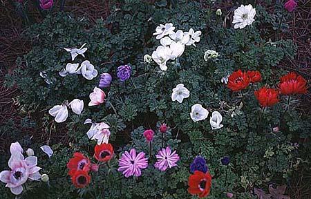 Photo of Anemone coronaria