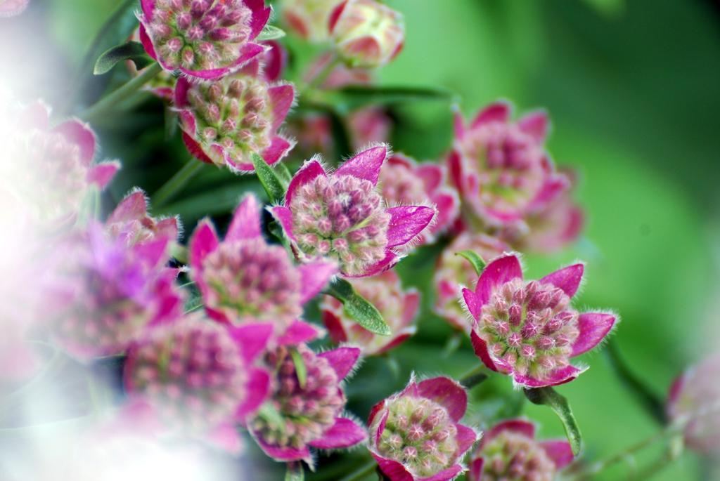 Anemone spp. flowers