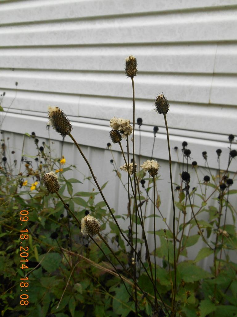 thimble-like seed head, fall, McDowell County, NC