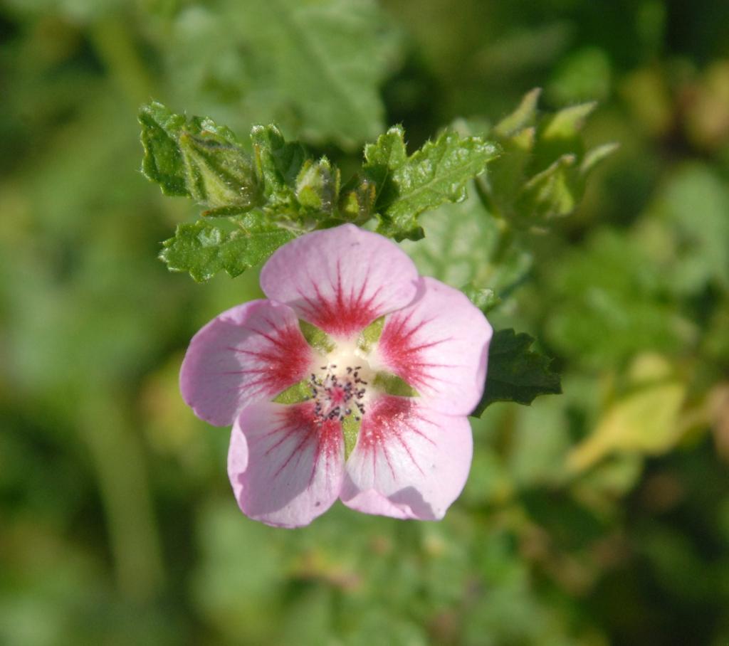 Anisodontea capensis 'Slightly Strawberry'